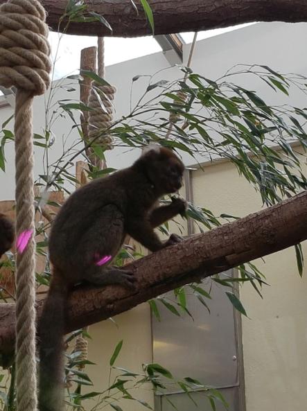 Zoo_Lemuren-01